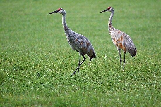 Sandhill Cranes in Grass Field by Thomas Murphy