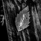 Birch Leaf by antonio55