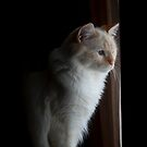 White Flamepoint Ragdoll Kitten looking out window by DariaGrippo