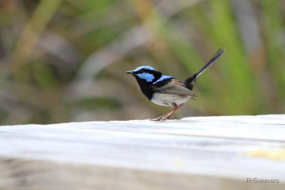 Blue Wren at Sunlands by R-Summers