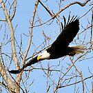 North American Bald Eagle 2 by Brad Sumner