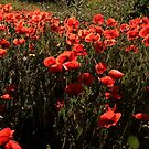poppies by Gasparedes