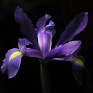 purple iris by Gasparedes