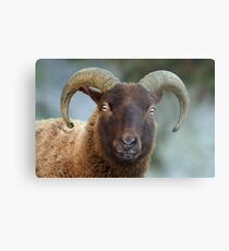 Manx Sheep Metal Print