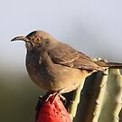 Curve-billed Thrasher by Kimberly Palmer