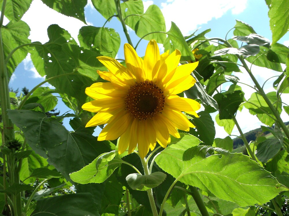 Another sunflower by agrusag