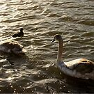 A Swan's Life, Derbyshire by Alex Bonner