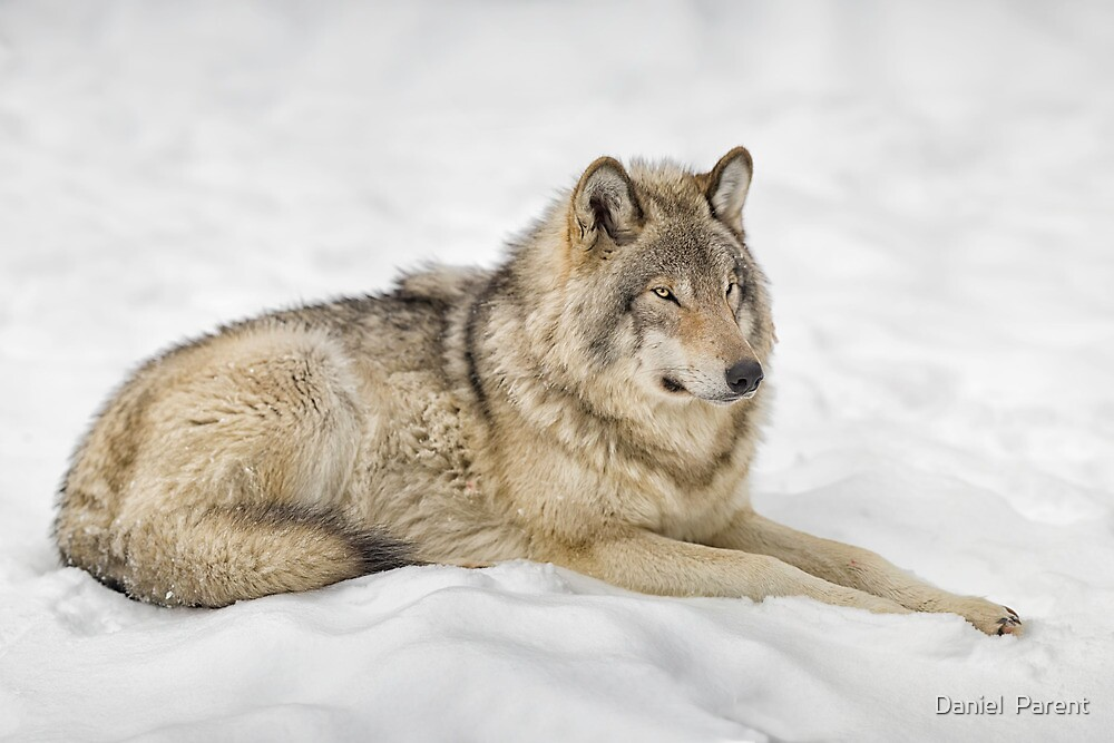 Timberwolf at Rest by Daniel  Parent