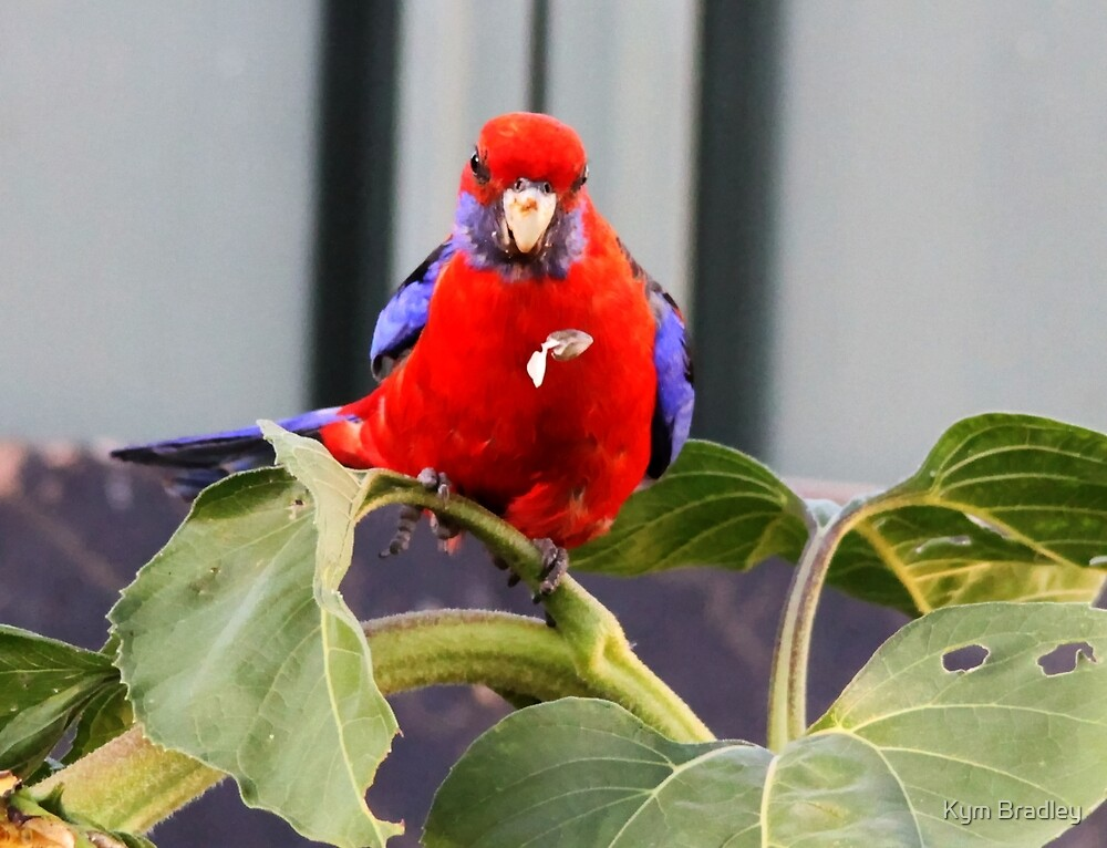 Whoops cannot catch that one Crimson Rosella  by Kym Bradley