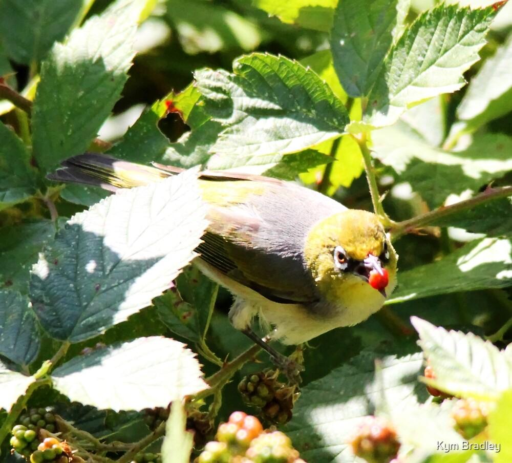Silver Eye Snacking on the blackberries  by Kym Bradley