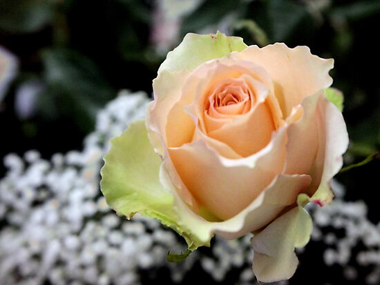 My Perfect Rose by Leann Moses Rardin