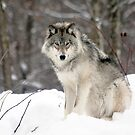 The Wolf  by John44