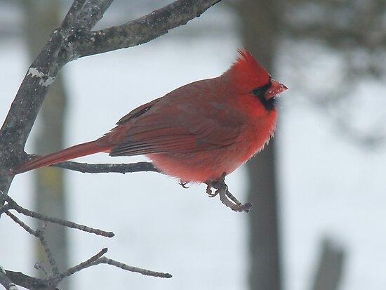 Cardinal by Tracy Wazny
