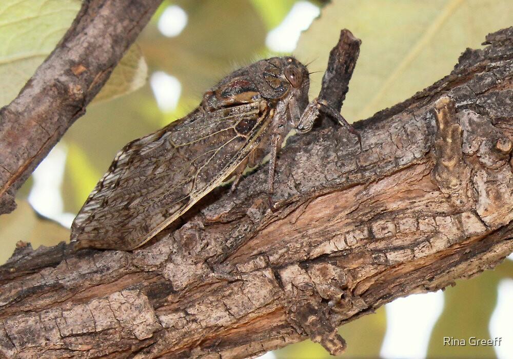 Platypleura capensis by Rina Greeff