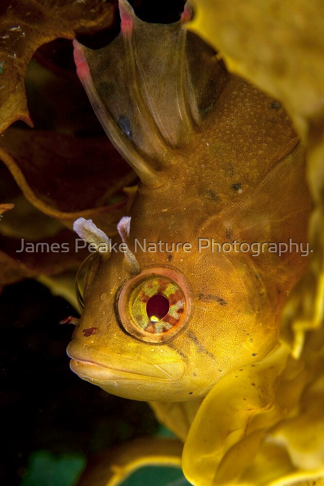 Golden. by James Peake Nature Photography.