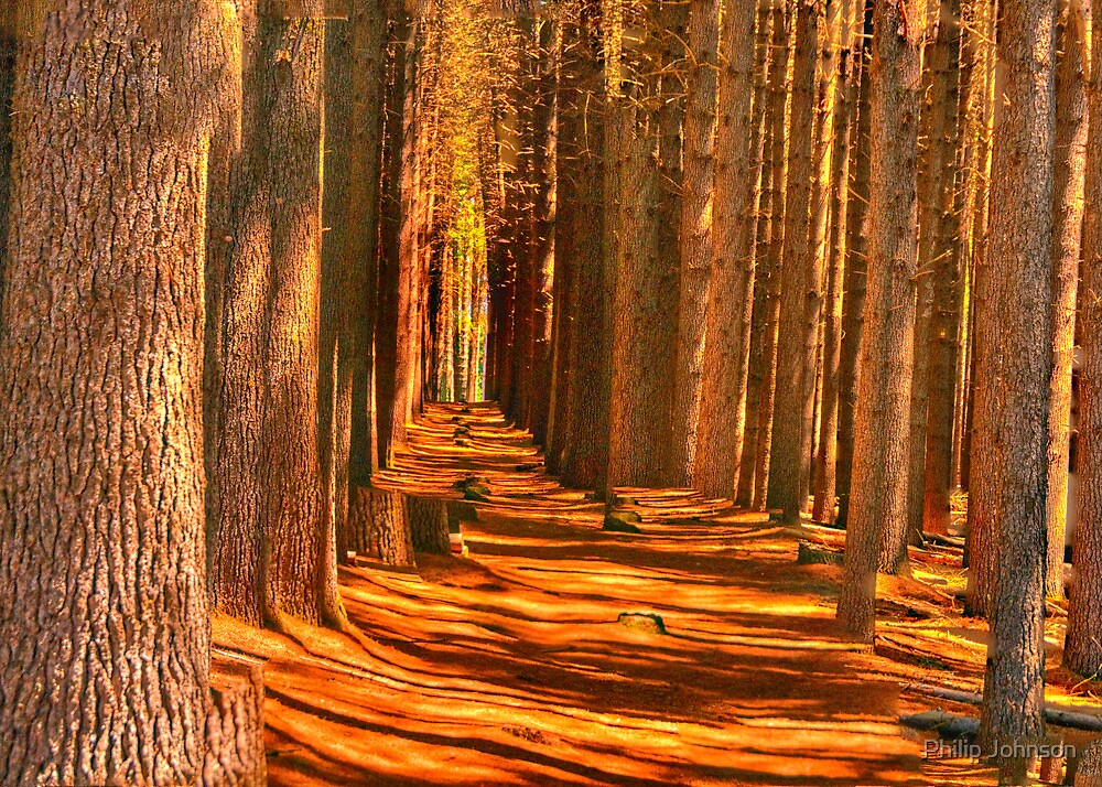 Cathedral - Sugar Pine Walk, Laurel Hill NSW - The HDR Experience by Philip Johnson