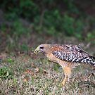 RED SHOULDERED HAWK by Kathy Cline