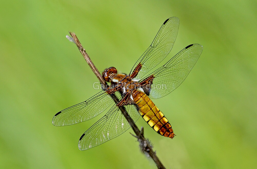 Broad-bodied Chaser by Gary Richardson