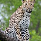 This is leopard territory by Anthony Goldman