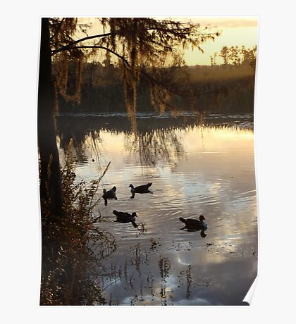 MUSCOVY DRAKES ON ECONFINA CREEK Poster
