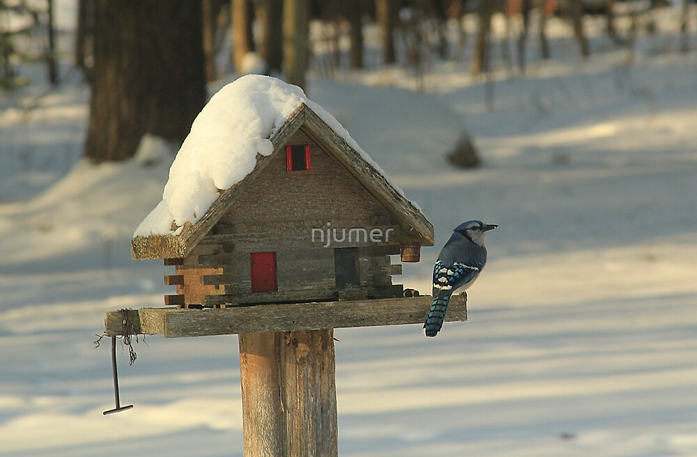 Blue Jay 1 by njumer
