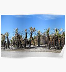 Charred Palm Trees, Honeymoon Island State Park Poster