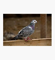 Farm Pigeon Photographic Print