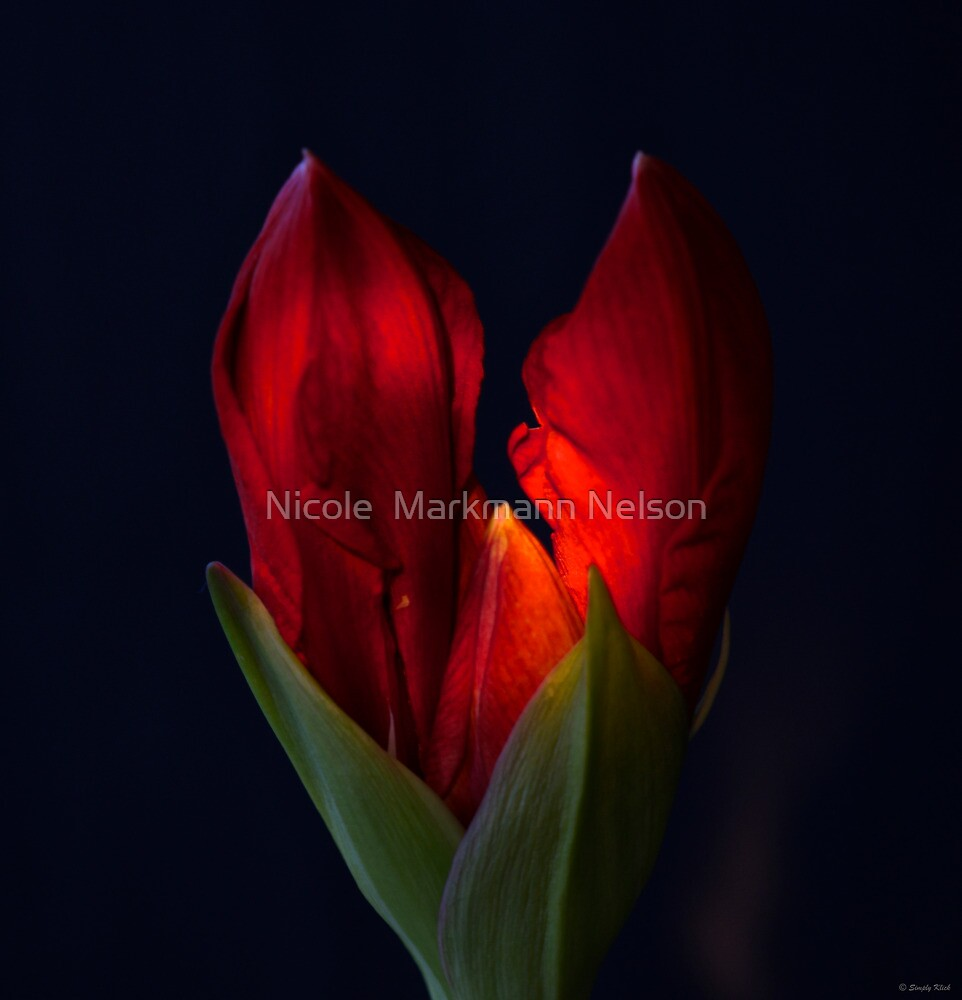 My Happy Amaryllis  by Nicole  Markmann Nelson