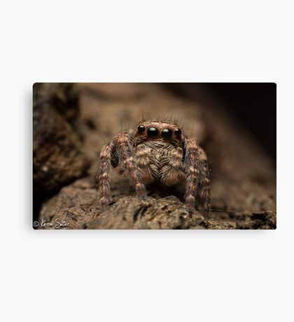(Servaea vestita) Jumping Spider #3 Canvas Print