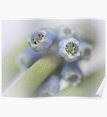 Grape Hyacinth I Poster