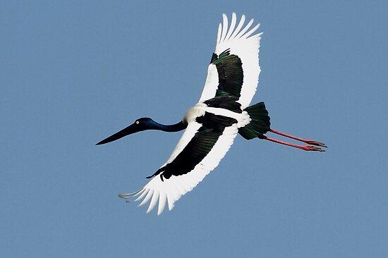 """The Black-Necked Stork in flight."" by debjyotinayak"