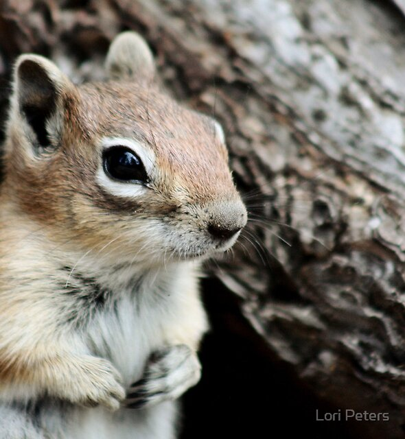 Golden Mantled Ground Squirrel 4 by Lori Peters