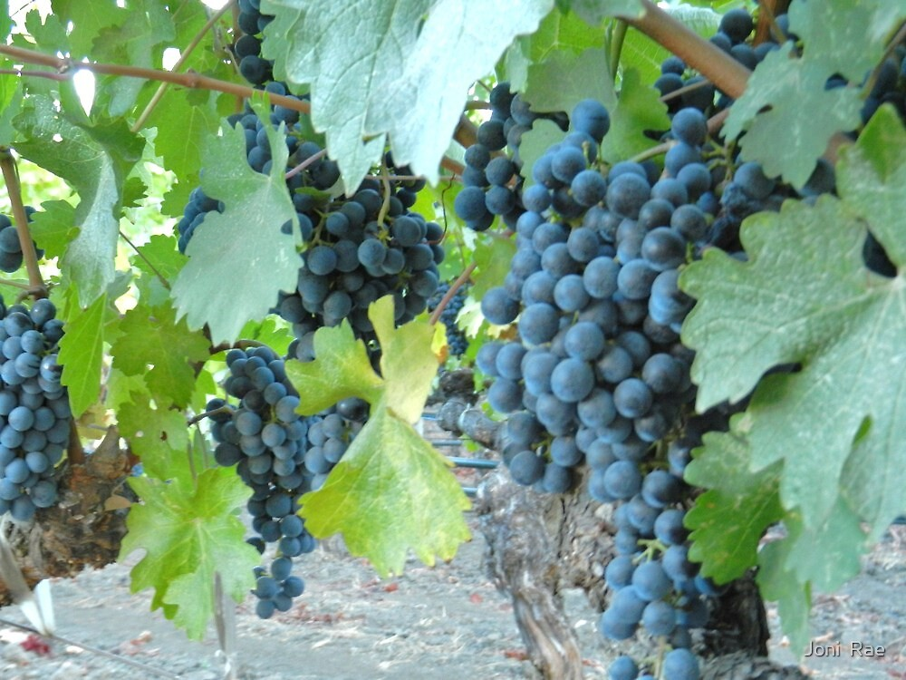 Malbec Grapes by Joni  Rae