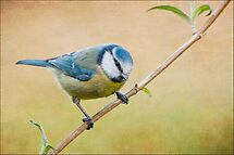 Blue tit by M S Photography/Art