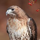 Red -Tailed Hawk ~ by Renee Blake