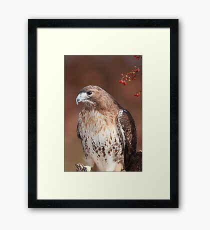 Red -Tailed Hawk ~ Framed Print