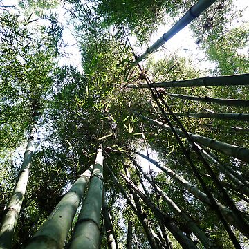 The bamboo's forest by monsieurI