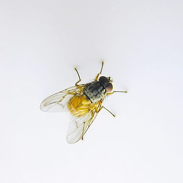 Fly on white background by Gabs2