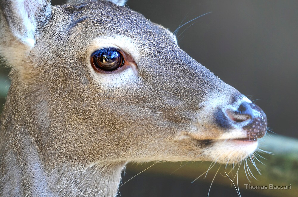 Deer with a Freckled Nose by TJ Baccari Photography