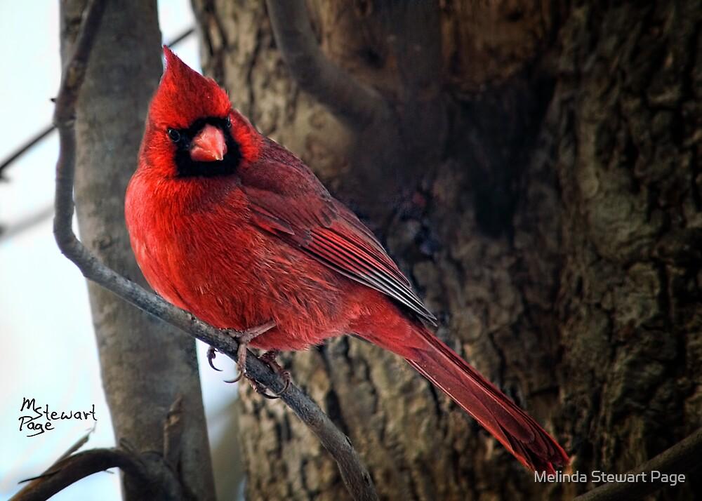 """""""Big Red"""" by Melinda Stewart Page"""