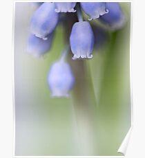 Grape Hyacinth IV Poster