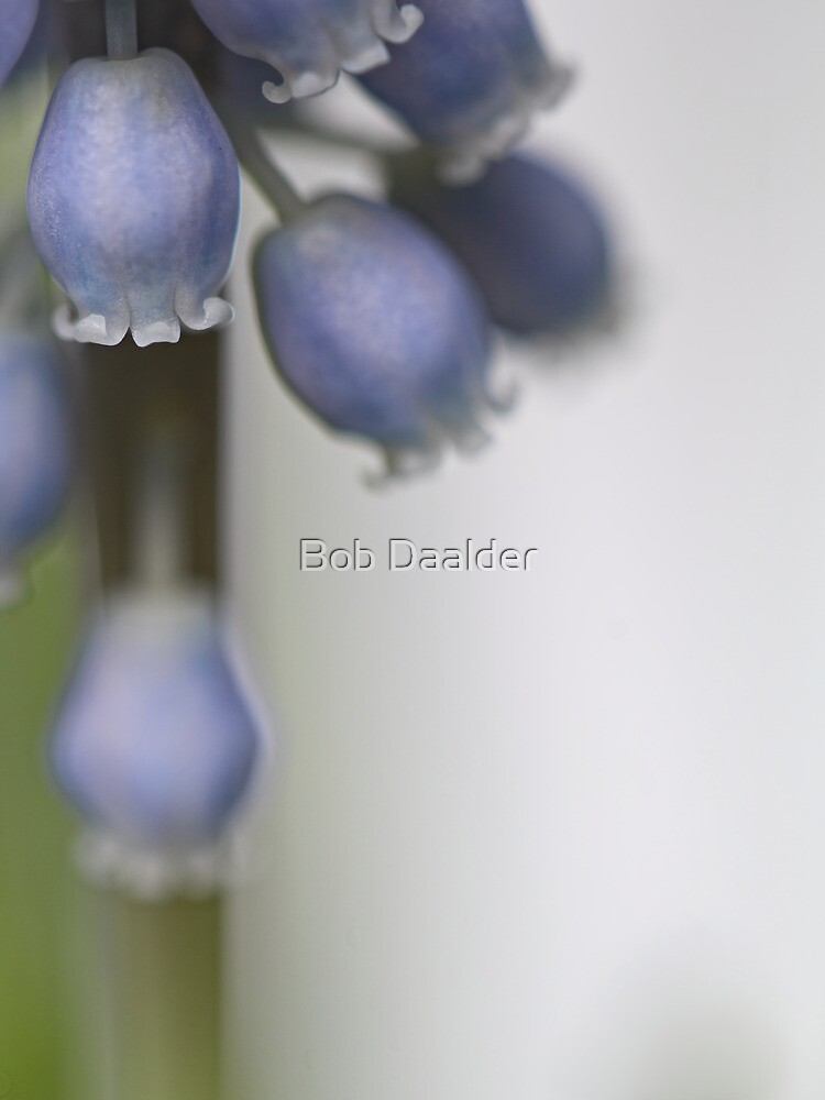 Grape Hyacinth V by Bob Daalder