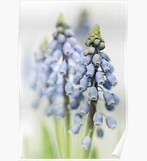 Grape Hyacinth VI Poster