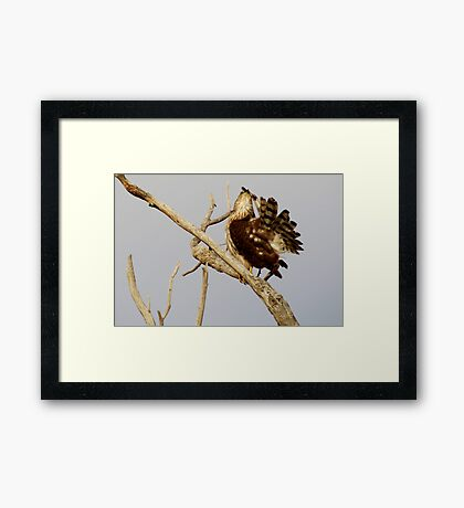 Cooper's Hawk (Preening) Framed Print