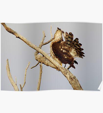 Cooper's Hawk (Preening) Poster