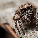(Servaea vestita) Jumping Spider #6 by Kerrod Sulter