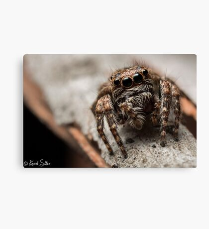 (Servaea vestita) Jumping Spider #6 Canvas Print