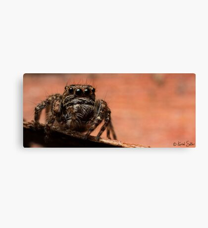 (Servaea vestita) Jumping Spider #7 Canvas Print