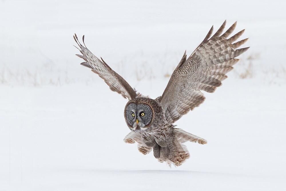 Great Gray Owl. by Daniel Cadieux