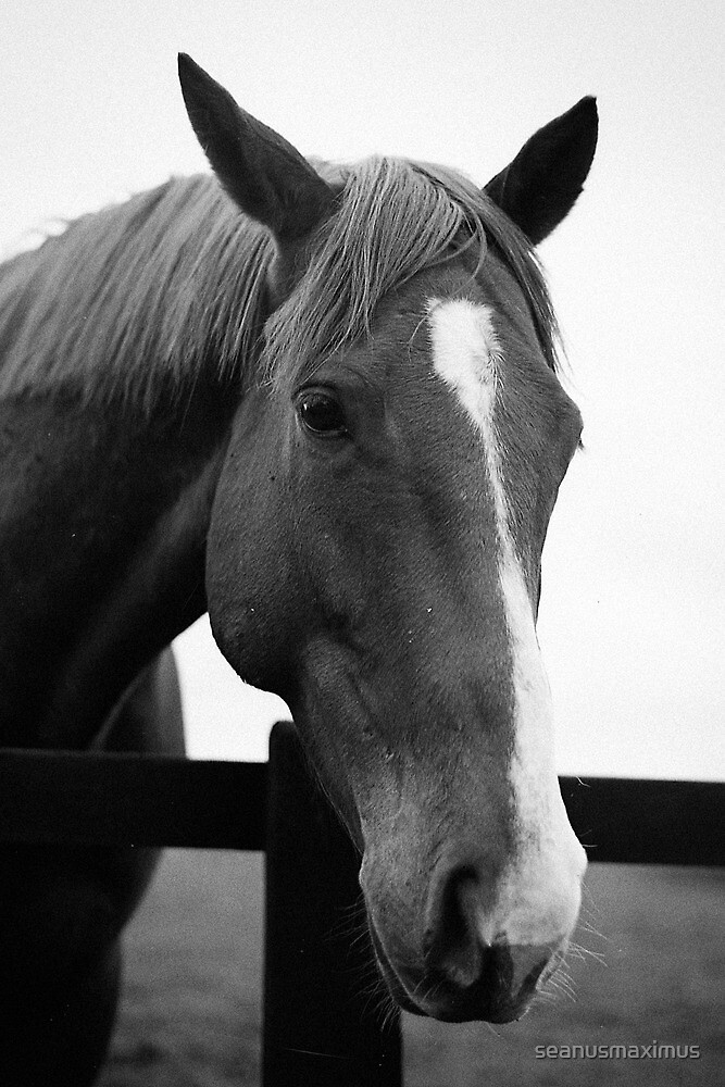 Horse portrait by seanusmaximus